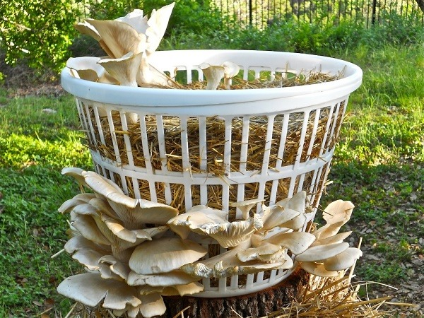 Vegans Living Off the Land: Ideas for Growing mushrooms in ...